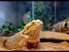 Bearded Dragon (Adult)