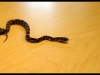 Corn Snake