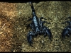 Emperor Scorpion