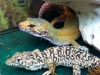 Leopard Gecko and Steppe Runner