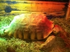 Michelle the Sulcata