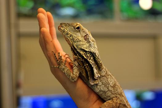 Frilled Lizard Care – Wilmette Pet Center