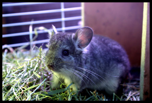 Chinchilla care - photo#44