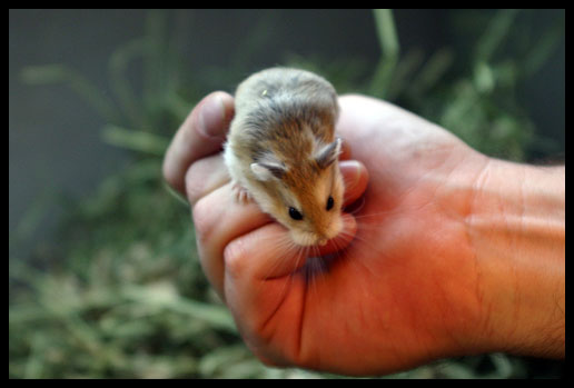 Dwarf Hamster
