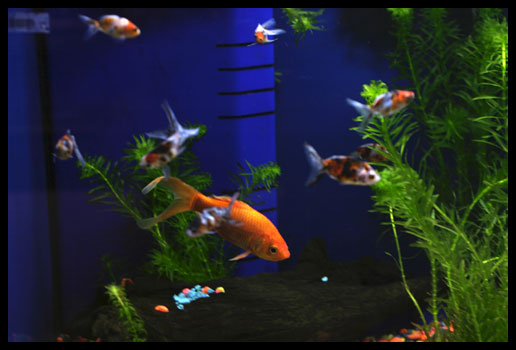 Goldfish Care – Wilmette Pet Center