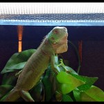 Iguana Care