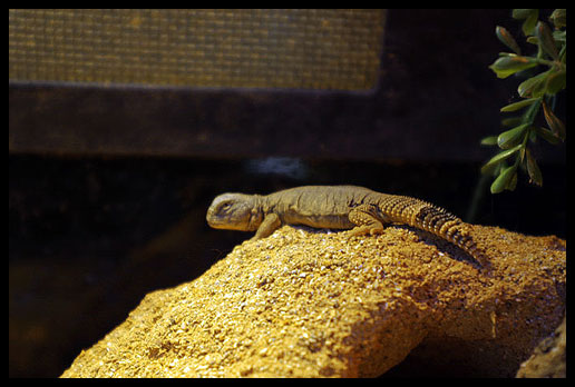 Mali Uromastyx