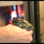 White&#039;s Tree Frog Care