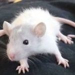 Care sheet - fancy rat