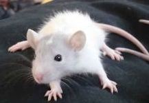Can pet rats learn tricks