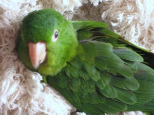 My green conure, Babs
