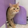 Meet Otto, a Gentle Orange Tabby, our newest foster from Community Animal Rescue Effort - CARE!