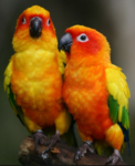 The clowns of the bird world: sun conures!
